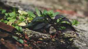 green lead plant